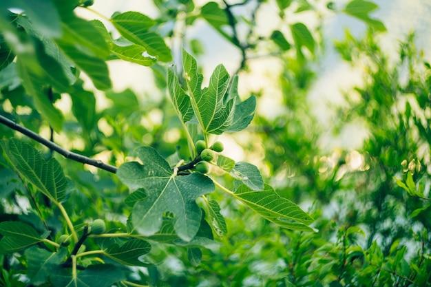 Pequenos frutos de figos verdes em um galho de madeira entre a folhagem