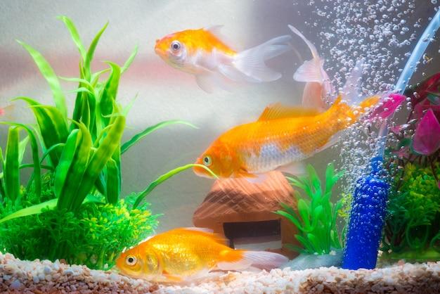 Pequenos peixes no aquário ou aquário