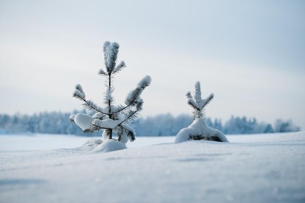 Pequenos pinheiros cobertos de neve no campo