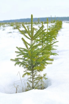 Pequenos pinheiros na neve
