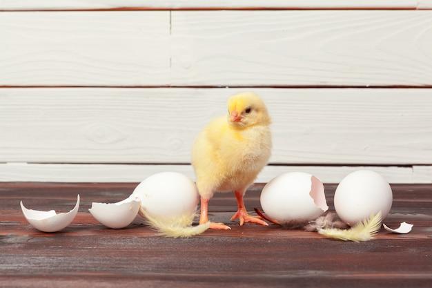 Pequenos pintos amarelos e cascas de ovos