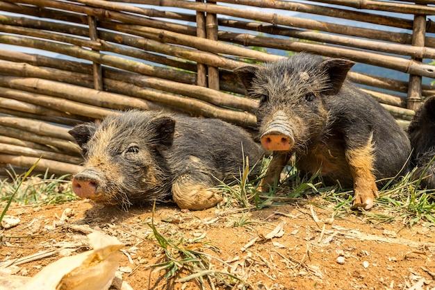 Pequenos porcos pretos em sapa, vietnã