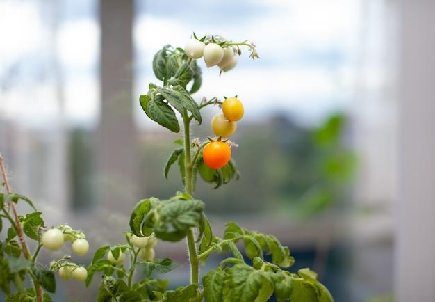 Pequenos tomates verdes e maduros crescendo no parapeito da janela. mini-vegetais frescos na estufa em um galho com frutas verdes. frutas jovens no mato. frutos amarelos de tomate em um galho