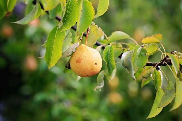 Pêra em uma árvore no jardim produtos agrícolas orgânicos