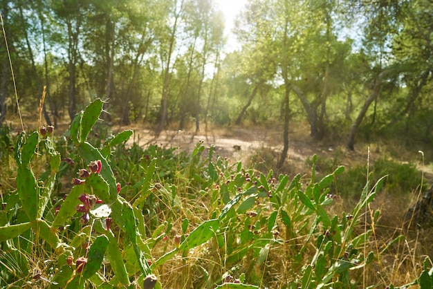 Pêra espinhosa selvagem na planta nopal no mediterrâneo