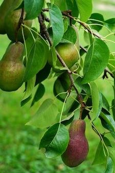 Pera vermelha e verde em um galho de árvore, conceito de tempo de colheita. foto de alta qualidade