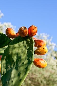 Peras espinhosas em cactus