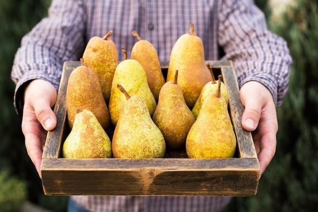 Peras frescas em mãos masculinas em caixa de madeira, cesta. comida saudável. colheita de pêra amarela do lado de fora.