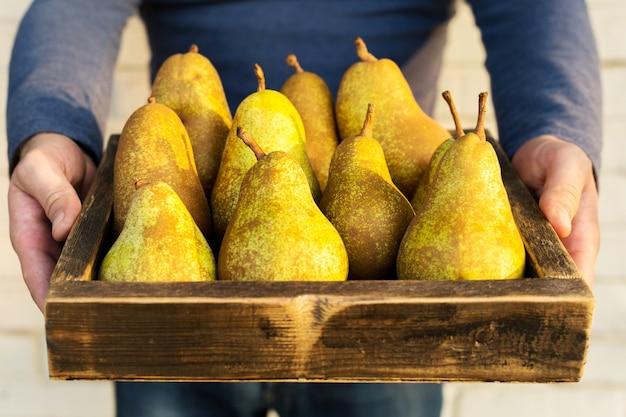 Peras frescas nas mãos masculinas. peras saborosas suculentas em caixa, cesta. frutas orgânicas para alimentos ou suco de pêra. comida saudável. colheita de pêra.