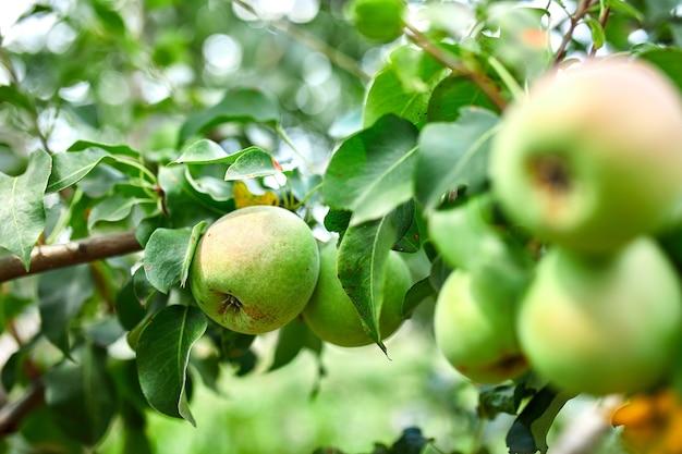 Peras maduras orgânicas no jardim de verão, colheita de outono, close up vista de peras crescem em galho de árvore de pera com folhas sob a luz solar, foco seletivo em peras.