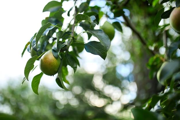 Peras maduras orgânicas no jardim de verão, colheita de outono