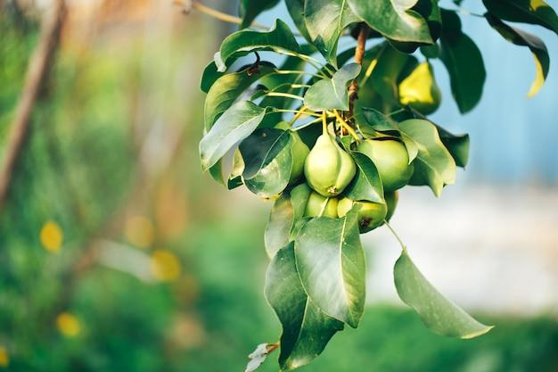 Peras maduras penduradas em um galho de árvore, comida vegetariana, comida orgânica.