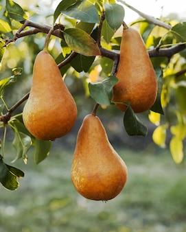 Peras marrons maduras frescas penduradas no galho do pomar para a colheita de alimentos no outono ao pôr do sol