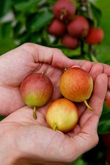 Peras nas palmas das mãos no fundo de pereira e frutos de pera
