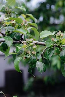 Peras verdes crescentes nos galhos de close-up de árvores.