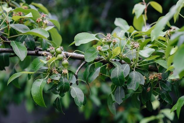 Peras verdes crescentes nos ramos de close-up de árvores.