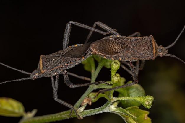 Percevejo adulto da espécie phthiacnemia picta