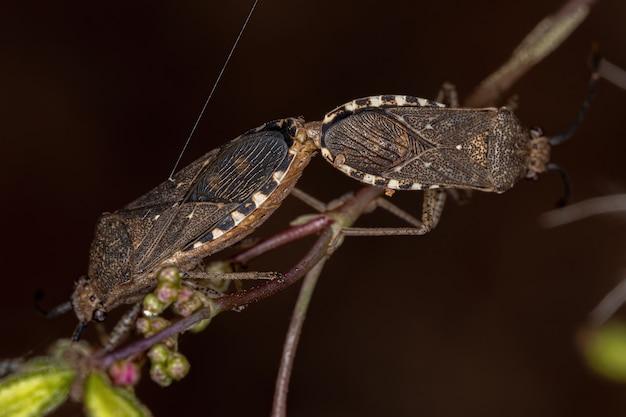 Percevejos adultos da espécie catorhintha guttula acoplamento