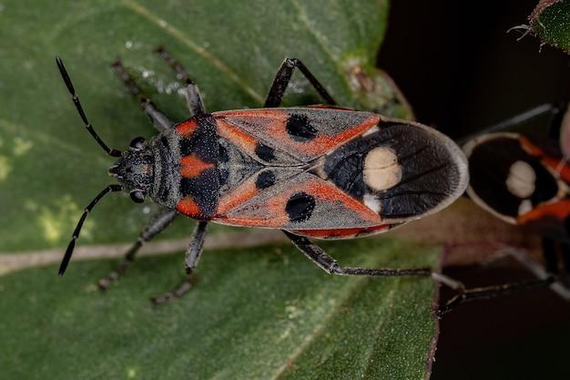Percevejos adultos da espécie lygaeus alboornatus acoplamento