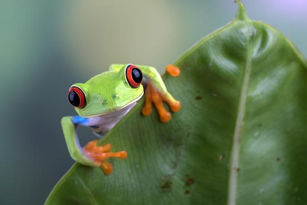 Perereca de olhos vermelhos pendurada em folha de antúrio