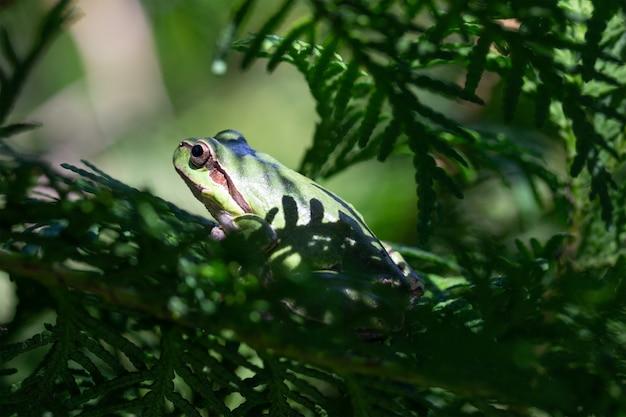 Perereca verde nos ramos de coníferas de thuja