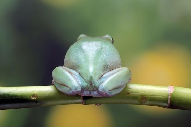 Perereca vista por trás de uma rã gorda closeup