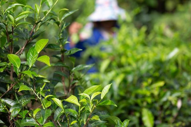 Perfeito da folha de chá com a colheita,