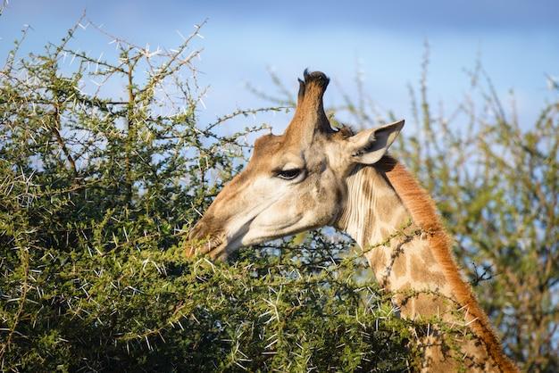 Perfil da cabeça e da garganta do girafa, fim ascendente e retrato. áfrica.
