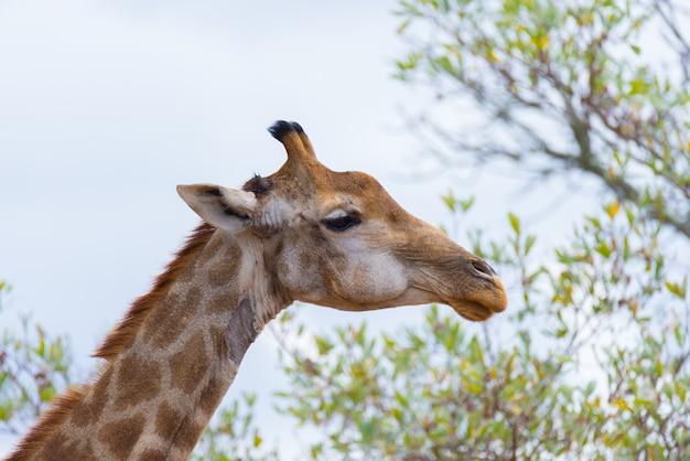 Perfil de cabeça e pescoço de girafa