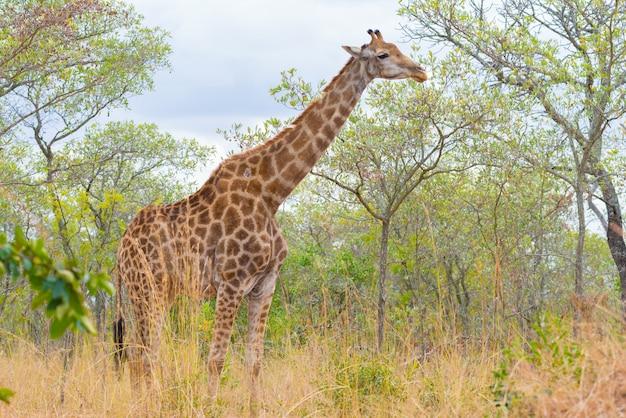 Perfil de girafa no mato