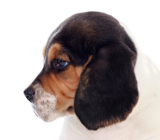 Perfil, de, um, beagle, puppi, marrom branco