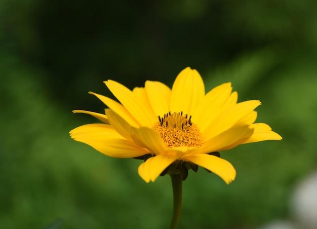 Perfil de um falso girassol amarelo florescendo em um jardim