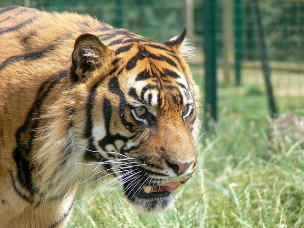 Perfil de uma cabeça de tigre em um ambiente de zoológico