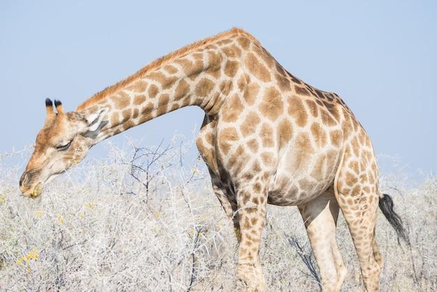 Perfil do girafa no arbusto, no fim ascendente e no retrato. safari da vida selvagem no parque nacional kruger, o principal destino de viagem na áfrica do sul.