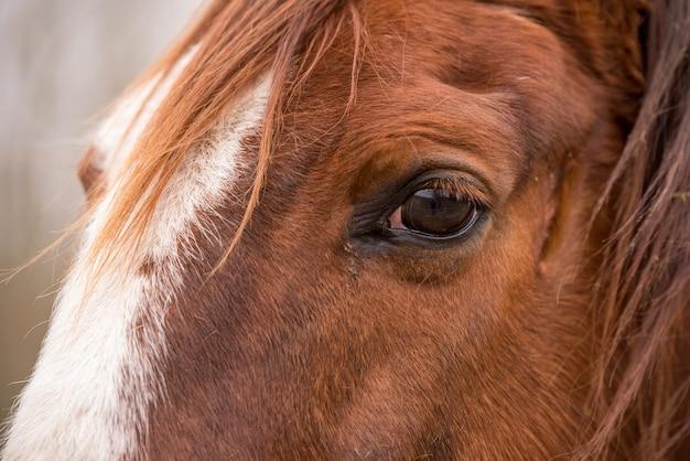 Perfil feche acima do olho do cavalo marrom do lado de fora