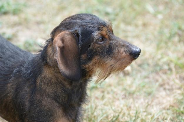 Perfil incrível de um cão bassê de pelo de arame fofo.
