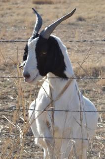 Perfil lateral de cabra