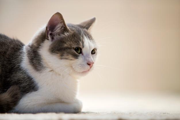 Perfile o retrato do gatinho branco e cinzento esperto bonito pequeno agradável novo do gato doméstico com expressão de sorriso no branco. mantendo animal de estimação em casa, animais selvagens.