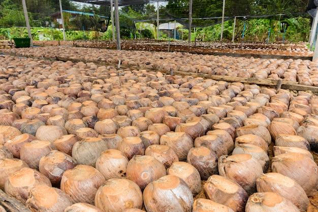 Perfume de coco é cabeça de corte para raças