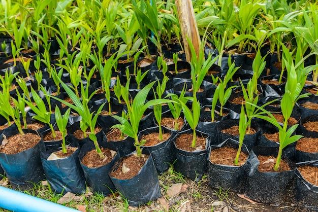 Perfume do coco, árvores pequenas do coco novo.
