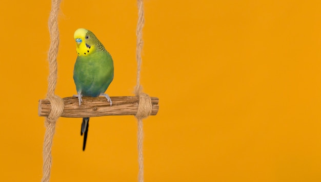Periquito australiano de cor verde sobre fundo amarelo.