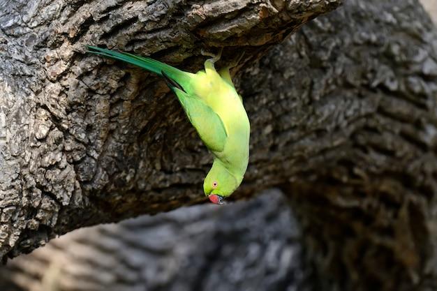 Periquito com anéis de rosas em uma árvore. sri lanka