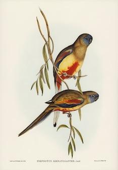 Periquito-de-barriga-carmesim (psephotus haematogaster) ilustrado por elizabeth gould