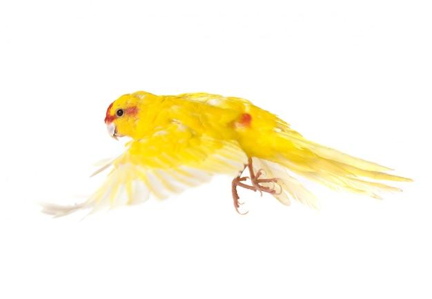 Periquito-de-coroa-vermelha no estúdio