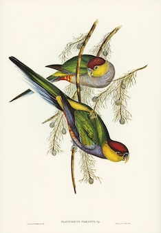Periquito-de-tampa-vermelha (platycercus pileatus) ilustrado por elizabeth gould