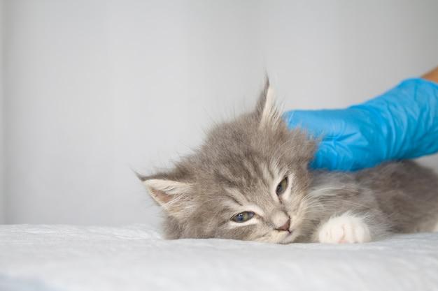 Persa cinza pouco macia coon kitte de maine na clínica veterinária e as mãos em luvas azuis