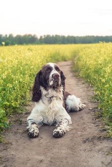 Persiga o spaniel de springer inglês da raça que anda no campo de flores selvagens do outono da floresta / verão. animal de estimação bonito senta-se na natureza ao ar livre à luz do sol de noite