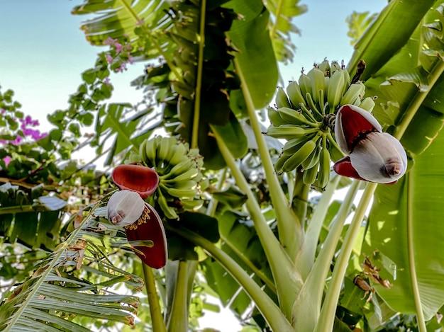Perspectiva inferior de uma bananeira com frutos e flores de uma bananeira contra um fundo de bela folhagem verde.