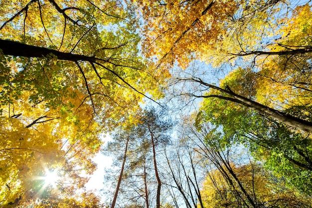 Perspectiva vista da floresta de outono com folhas brilhantes de laranja e amarelas. madeiras densas com copas grossas em clima ensolarado de outono.