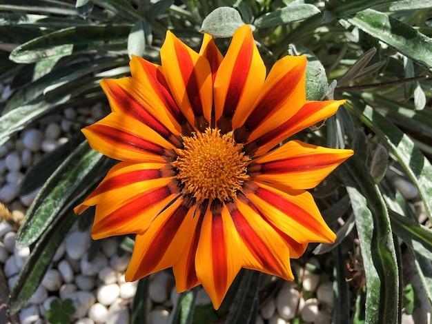 Perto da flor da margarida africana com fundo de folha verde.
